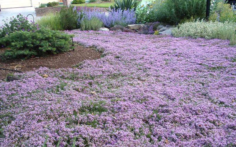 Pink Chintz Creeping Thyme Seeds Garden Design Ideas