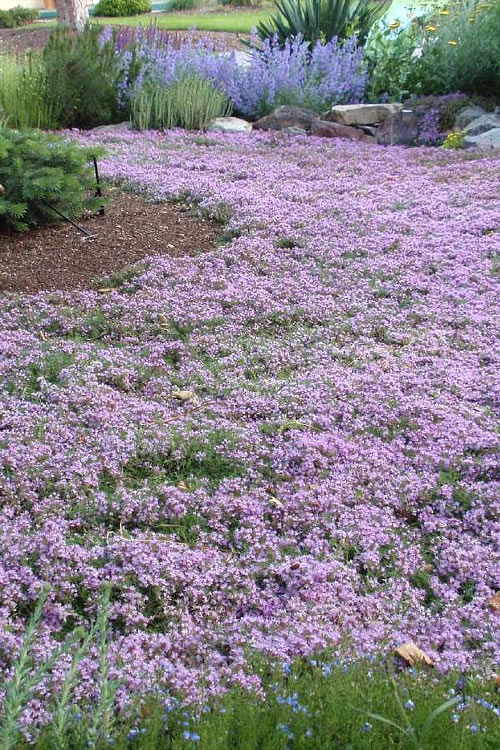 Buy Pink Chintz Thyme For Sale Online From Wilson Bros Gardens