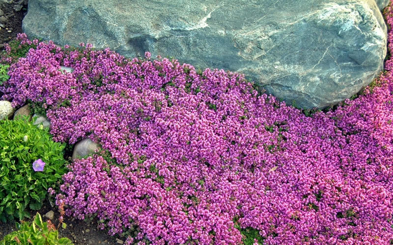 Buy Red Creeping Thyme Plants Free Shipping Thymus