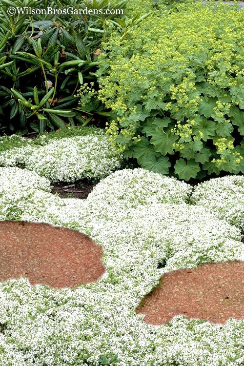Buy White Creeping Thyme Plants Free Shipping 5 Size Pot Thymus Praecox Albiflorus For Sale Online At Wilson Bros Gardens