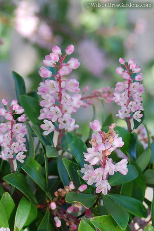 Chipolo Pink Titi Tree - Cliftonia monophylla - 3 Gallon Pot