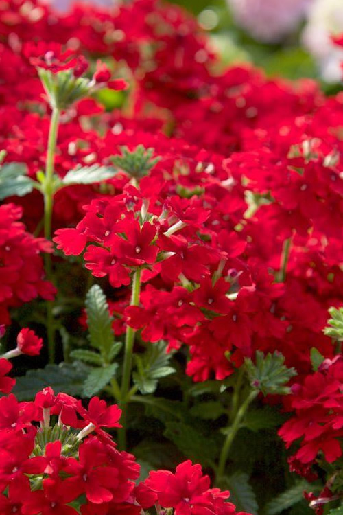 Buy Endurascape Red Verbena For Sale Online From Wilson