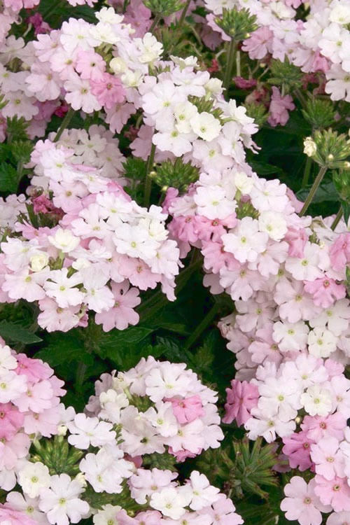 Buy Endurascape White Blush Verbena For Sale Online From