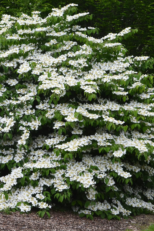 'Igloo' Doublefile Viburnum - 3 Gallon Pot