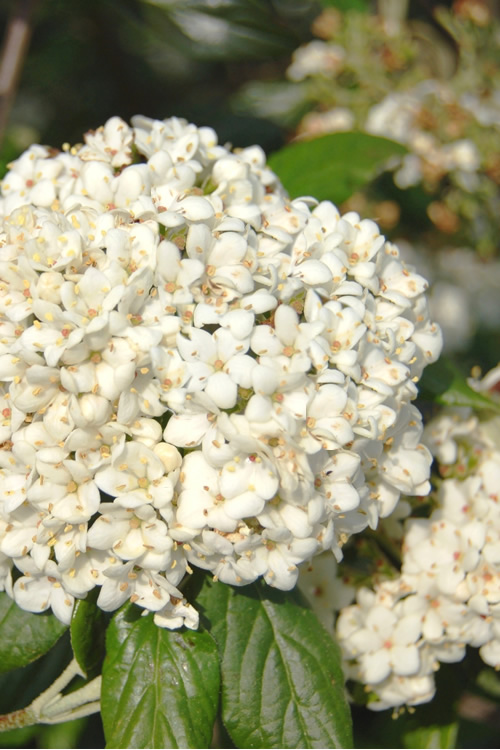 Buy Pearlific Viburnum Plants Free Shipping Fragrant