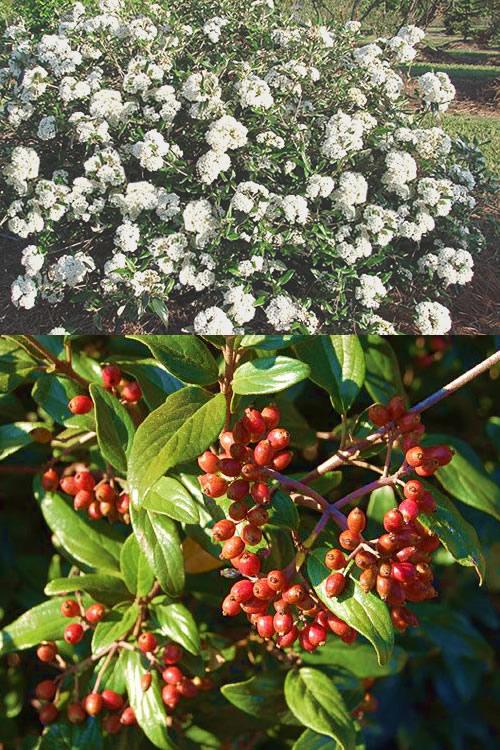 Buy Pearlific Viburnum Plants Free Shipping Fragrant