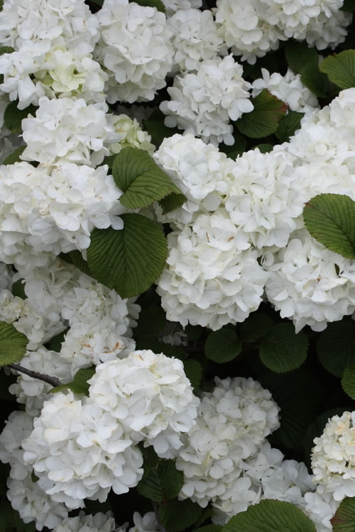 Popcorn Snowball Viburnum Bush - 1 Gallon Pot