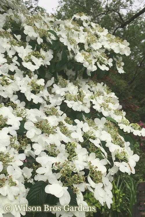 Buy Summer Snowflake Viburnum 1 Gallon Size Bushes