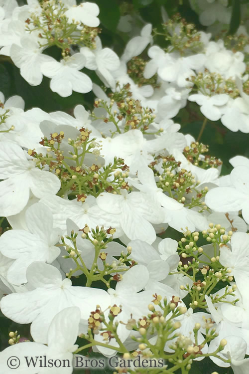 Summer Snowflake Viburnum - 3 Gallon Pot