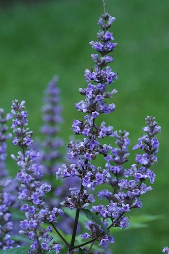 Blue Diddley Dwarf Chaste Tree (Vitex agnus-castus) - 3 Gallon Pot
