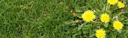 How To Prevent and Kill Weeds in Lawns