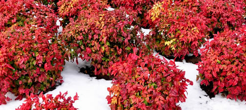 Shrubs for Winter Color in the Landscape