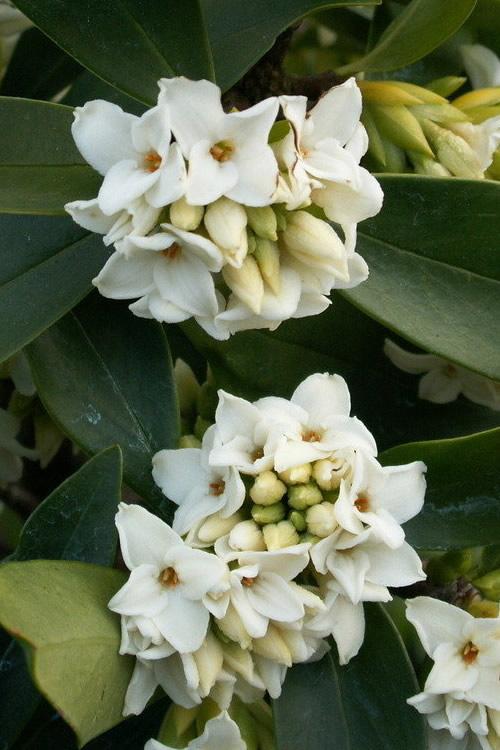 Buy greenleaf white winter daphne for sale online from wilson bros winter daphne is a superstar of an evergreen flowering shrub more details below mightylinksfo