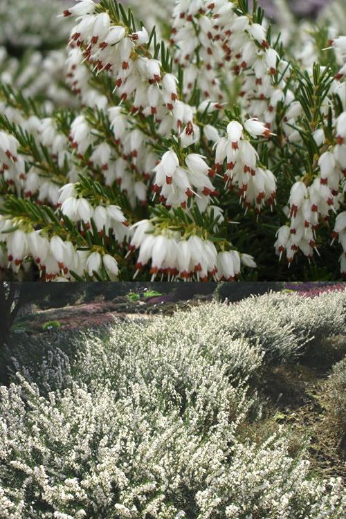 Buy mediterranean white winter heath erica darleyensis plants for mediterranian white winter heath erica darleyensis mightylinksfo