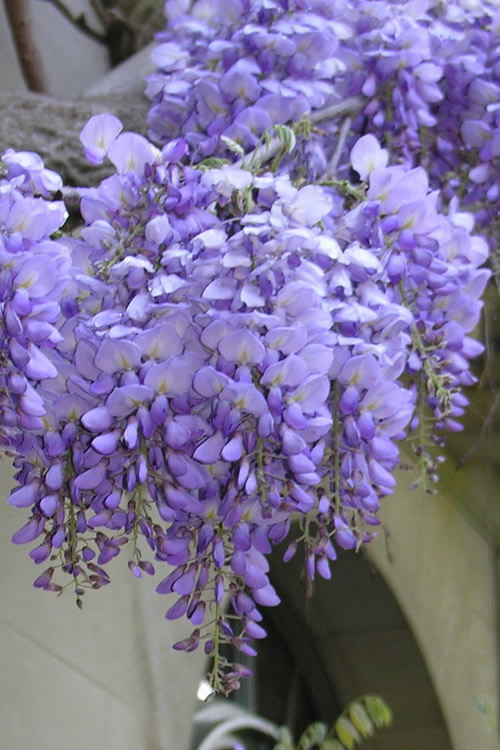 Buy Blue Chinese Wisteria Sinensis Free Shipping 3 Gallon Pot Size Vine For Sale Online From Wilson Bros Gardens