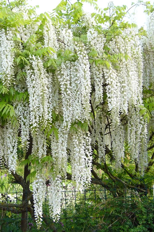 buy snow showers wisteria vine for sale online from wilson