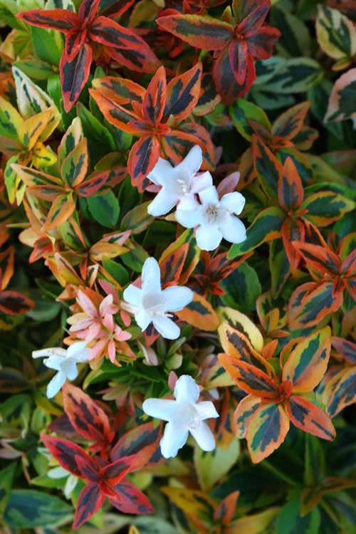 Buy Kaleidoscope Abelia Free Shipping 3 Gallon Pot Shrubs For
