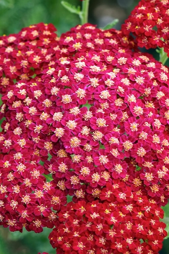 New Vintage Red Yarrow - Achillea - 2.5 Quart  Pot
