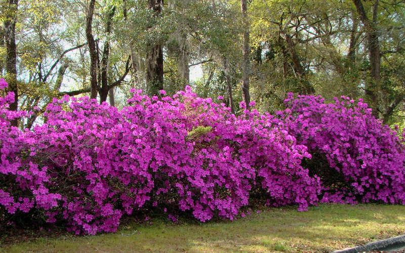 Azalea Color