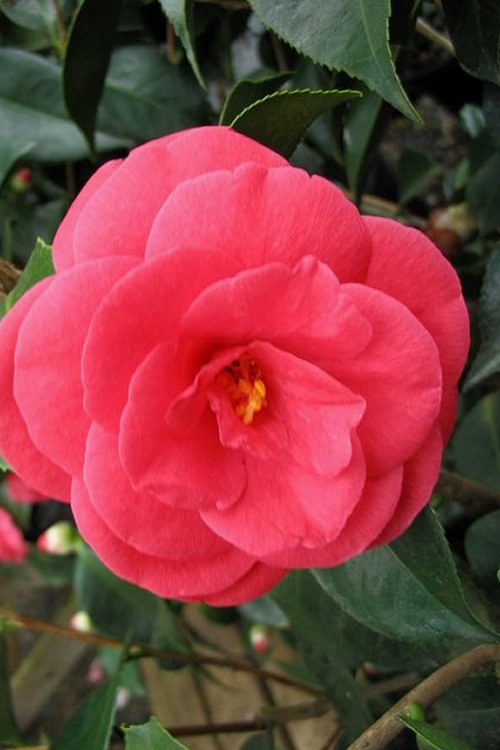 Arctic Rose Cold Hardy Red Camellia - 3 Gallon Pot