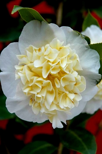 Brushfield Yellow Camellia Japonica - 3 Gallon Pot