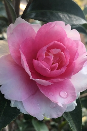 Dream Weaver Camellia Sasanqua - 3 Gallon Pot