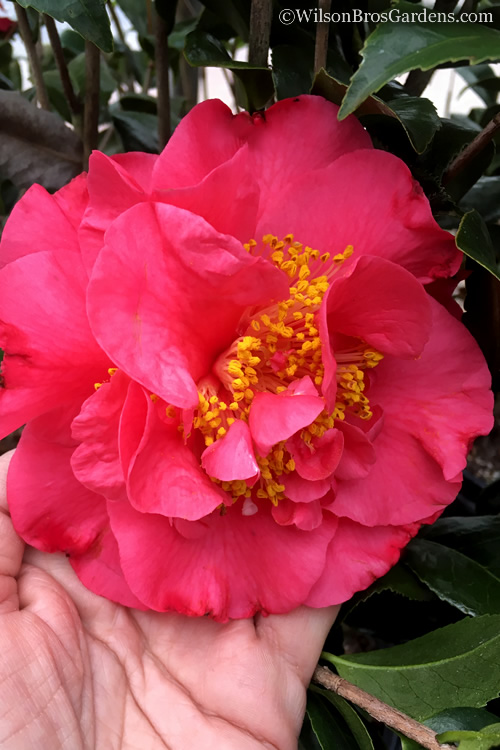 Buy Kramers Supreme Red Camellia Free Shipping 3