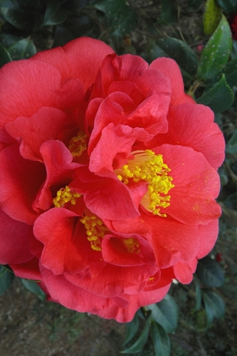 Kramers Supreme Red Double Camellia Japonica - 3 Gallon Pot
