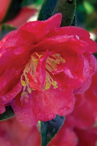 October Magic Rose Camellia