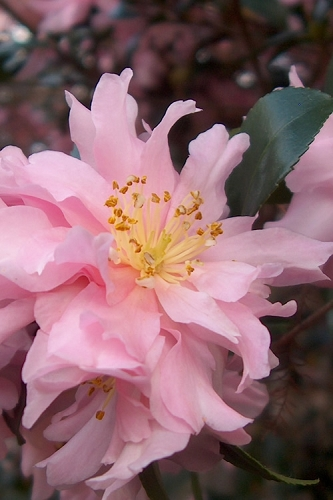 Pink Snow Camellia Sasanqua - 3 Gallon Pot