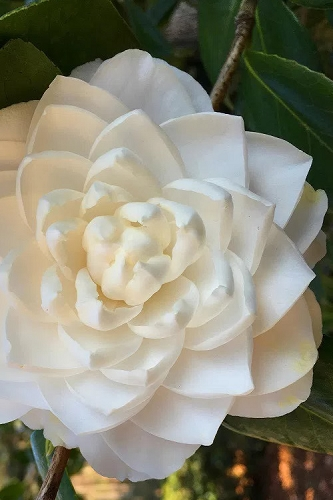 Sea Foam White Camellia Japonica - 1 Gallon Pot