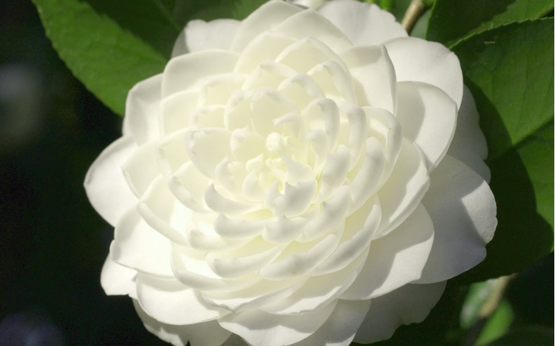 Buy Sea Foam Camellia Plant Free Shipping 1 Gallon