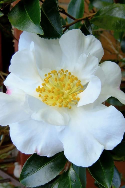 Buy Setsugekka Fragrant White Camellia Free Shipping 3