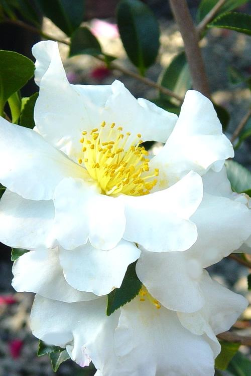Buy Setsugekka Fragrant White Camellia Free Shipping 1