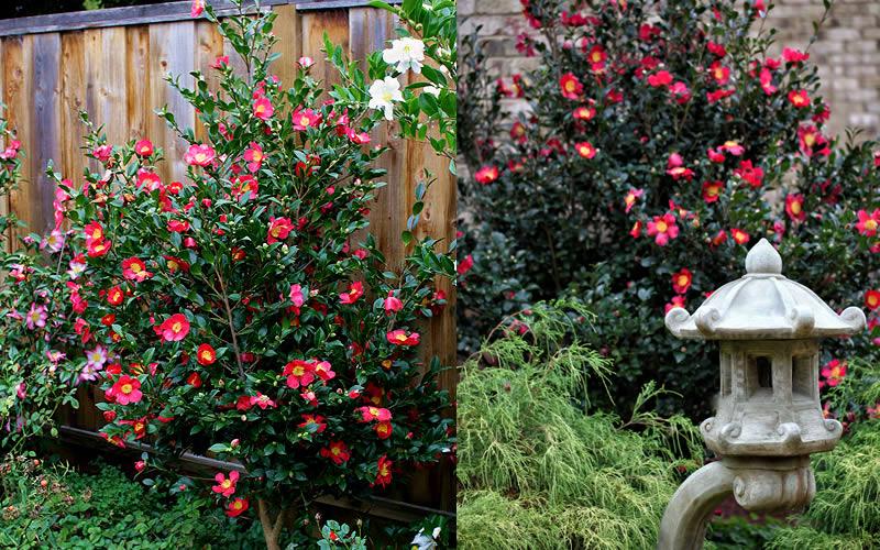 Growing Camellia In Pots Garden Design Ideas