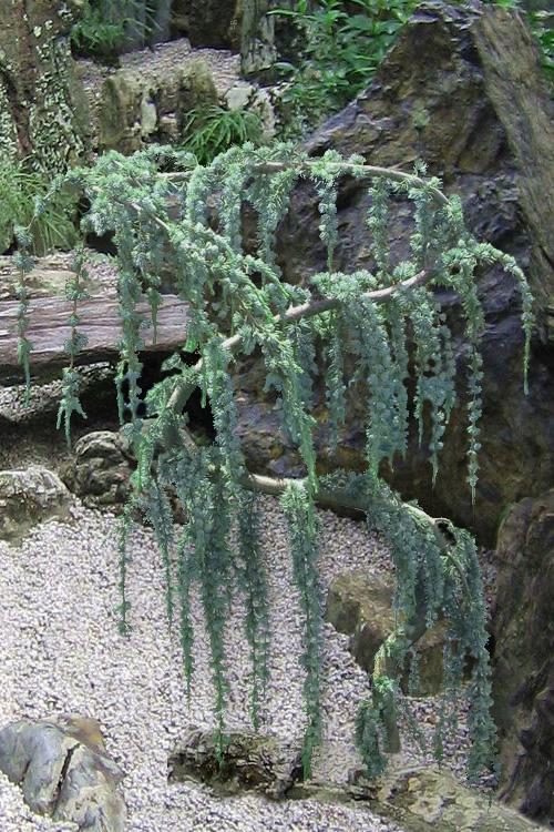 Serpentine Weeping Blue Atlas Cedar