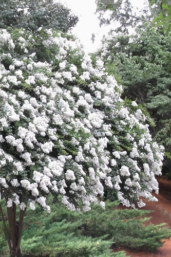 Acoma Weeping White Crape Myrtle - 5 Gallon Pot