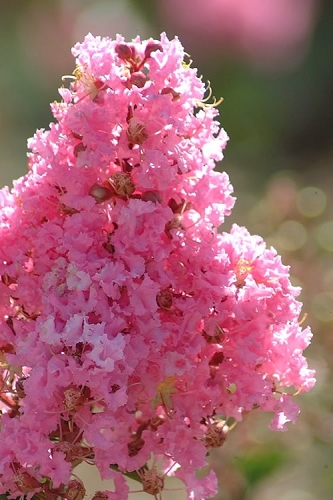 Sioux Pink Crape Myrtle - 5 Gallon Pot