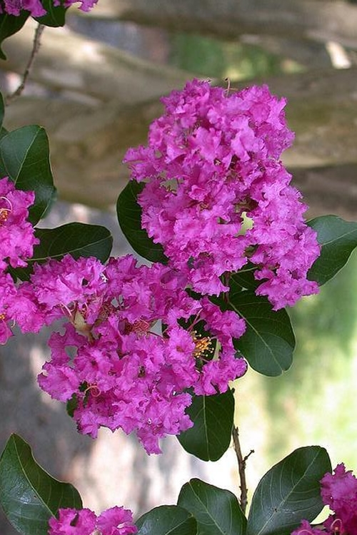 Zuni Purple Crape Myrtle - 6 Pack 1 Gallon Pots