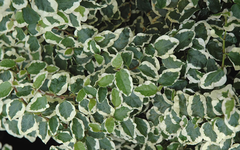 Buy Variegated Creeping Fig Plants Free Shipping 4