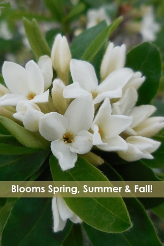 Jim's Pride White Summer Daphne - Daphne x transatlantica - 2 Gallon Pot
