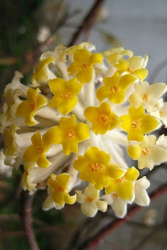 Snow Cream Edgeworthia chrysantha - Paper Bush - 3 Gallon