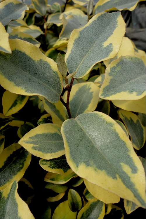 Olive Martini Elaeagnus - 6 Pack of 1 Gallon Pots - SALE!