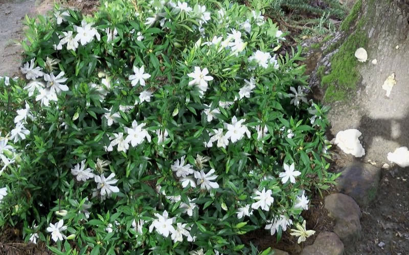 Buy Frost Proof Gardenia 1 Gallon Free Shipping For