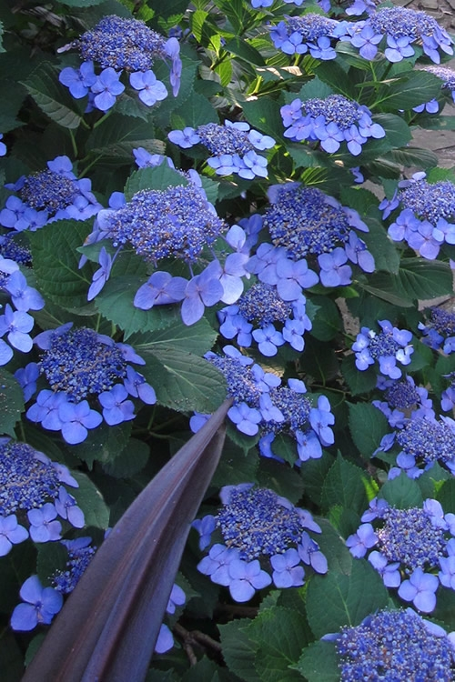 Buy Bluebird Hydrangea Plant Free Shipping For Sale
