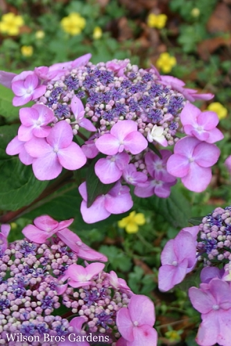 Twist-N-Shout Endless Summer Hydrangea - 3 Gallon Pot