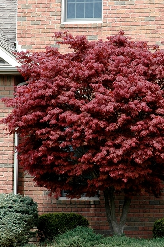 Bloodgood Red Leaf Japanese Maple - 2 Gallon Pot