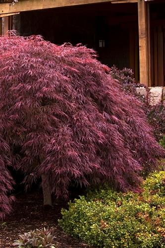 Crimson Queen Dwarf Japanese Maple - 5 Gallon Pot