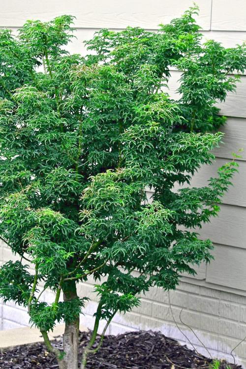Buy Lions Head Japanese Maple Trees Free Shipping Shishigashira