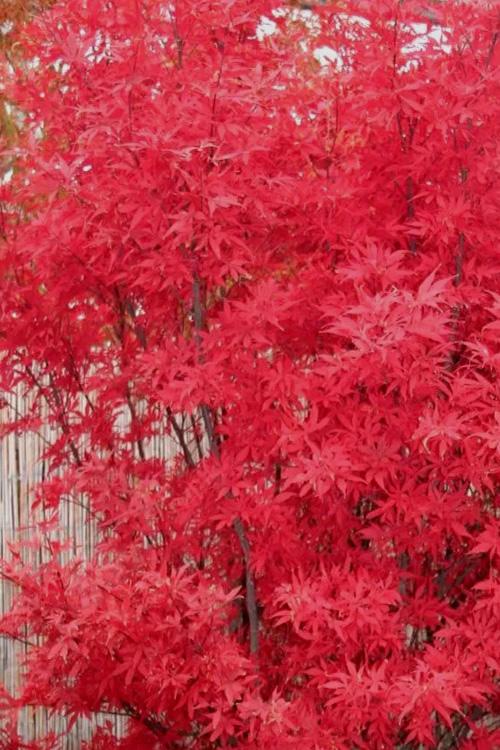 Buy Skeeters Broom Japanese Maple Tree Free Shipping For Sale